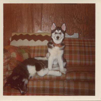 Chris Sinatra's two Siberian huskies - Morgan & Mac